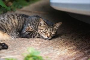 ノンレム睡眠中の猫