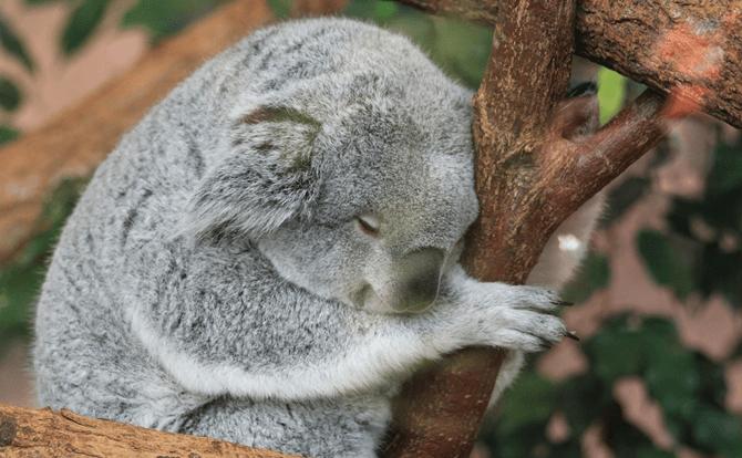 コアラ 睡眠時間1