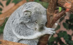 コアラ 睡眠時間1a