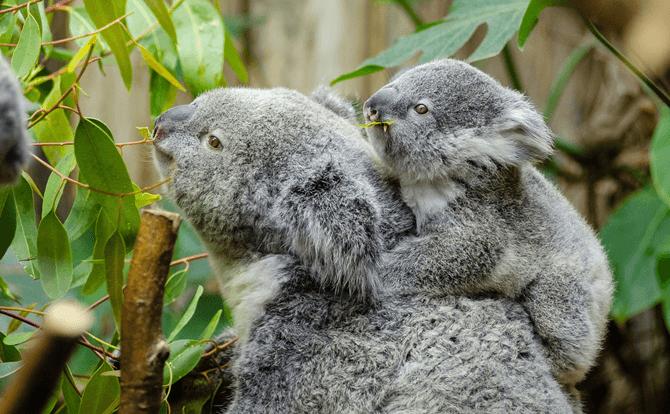 コアラ 睡眠時間2